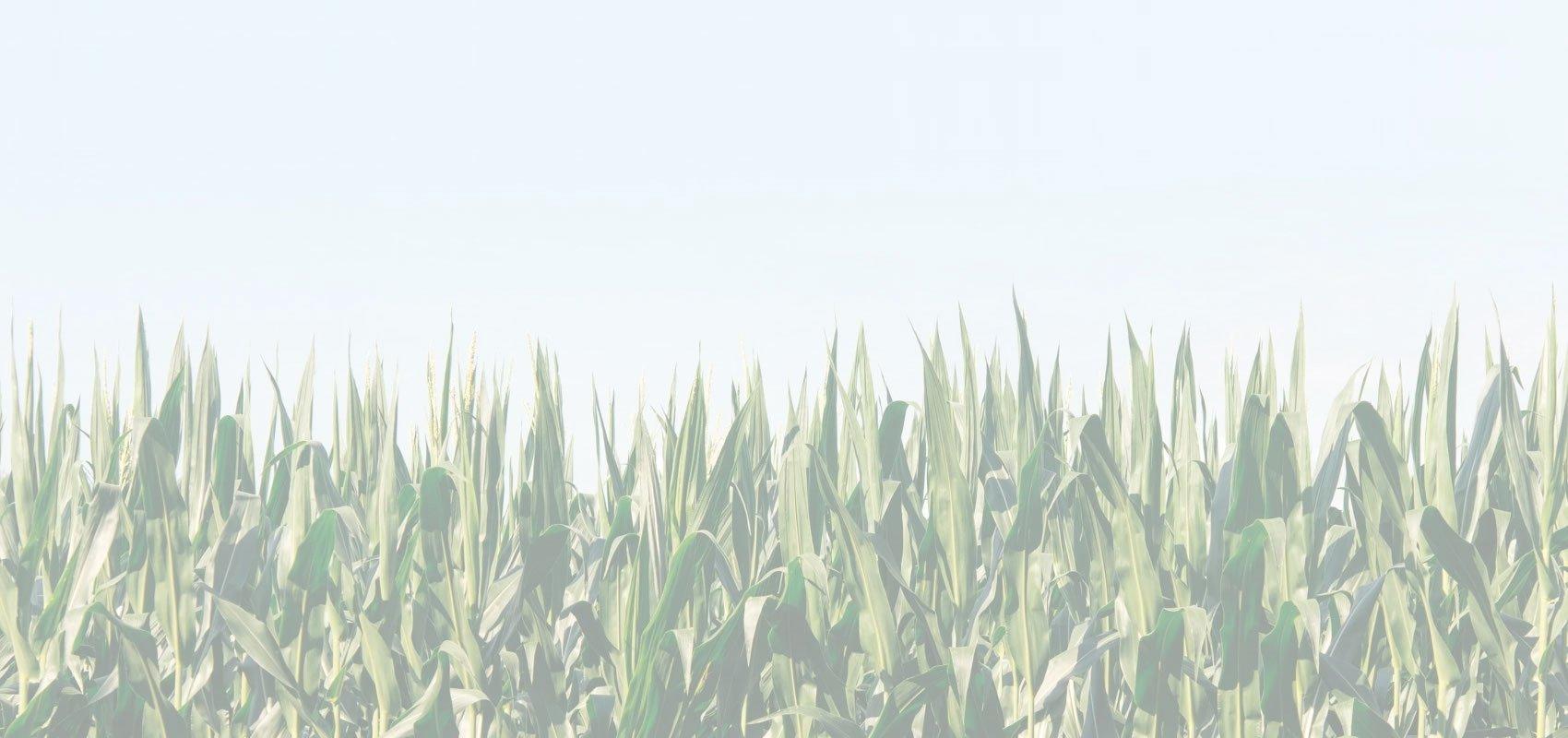 corn-3200x1200-2.jpg